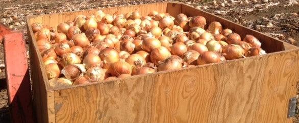cosecha de cebollas